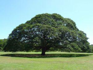 ハワイ この木なんの木