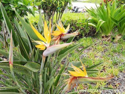 マリオットコオリナ 花