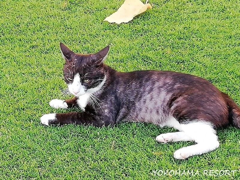 ハワイ コオリナ コオリナリゾート マリオットコオリナ 猫