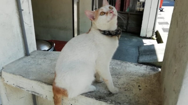 台湾 猴硐 猫村 猫村の猫 白い猫